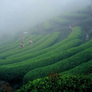 《茶》4:茶道四谛、分类、中国是茶树的故乡