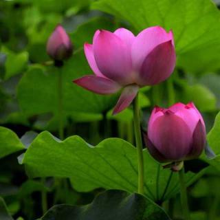 渭河滩那朵静开的莲