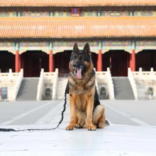 探秘大内犬侍卫:故宫的六百年由我们汪星人守护