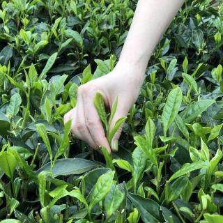 和马黛茶不离手的小毛聊聊中国白茶