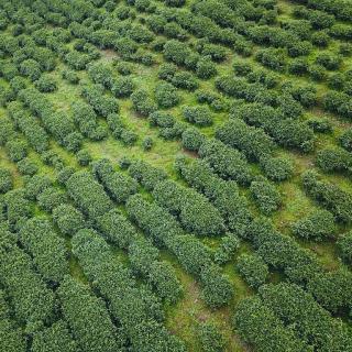 20 miembros del PCCh de aldea de Huangdu donan 15 millones de plántulas de té a las regi