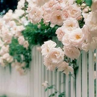 我院子里有四万万朵玫瑰花