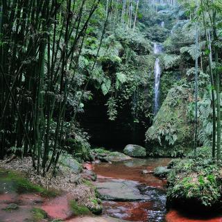 Árboles de bambú traen belleza y fortuna