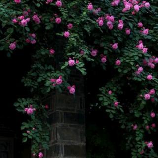 那时,蔷薇花开