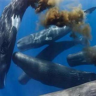 为什么鲸鱼排泄量巨大,粪便的价格却堪比黄金?