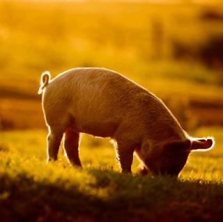 猪能够看到头顶的蓝天和白云吗?