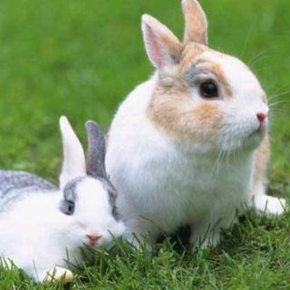 常春藤幼教园长妈妈睡前故事第379期《两只小兔子》