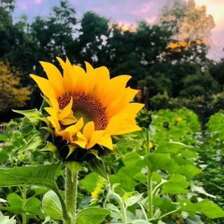 老黄读诗:《阳光中的向日葵》芒克