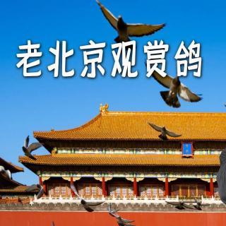 于谦聊天:老北京观赏鸽