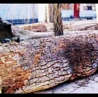 北京城西的镇物-金丝楠木