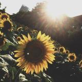 向阳花开🍮