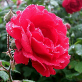 盛开的红蔷薇